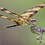 The Halloween Pennant Dragonfly Art Print