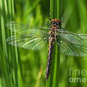 Dragonfly On Grass Art Print