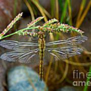 Dragonfly X-ray Art Print