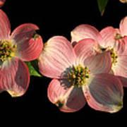 Dramatic Dogwood Flowers Art Print
