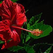 Dramatic Red Hibiscus Art Print