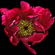 Dramatic Red Peony Flower Art Print