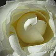 Dramatic White Rose 2 Art Print