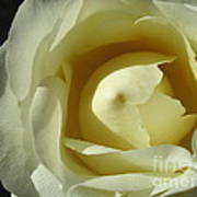 Dramatic White Rose 3 Art Print