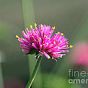 Dreaming In Fuschia II Print by Suzanne Gaff