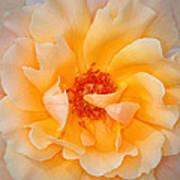 Dreamy Orange Rose Art Print