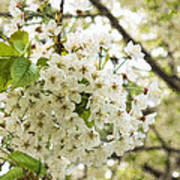 Dreamy White Cherry Blossoms - Impressions Of Spring Art Print