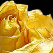 Dried Yellow Rose II Art Print