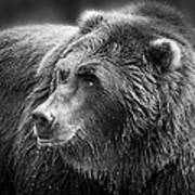 Drinking Grizzly Bear Black And White Art Print