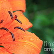Droplets On Tiger Lily Art Print