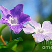 Drops On Violets Art Print