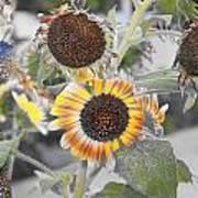 Dry Sunflowers Art Print