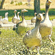Duck Duck Goose Art Print by Artist and Photographer Laura Wrede
