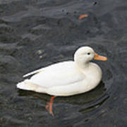 Duck Getting Feet Wet Art Print