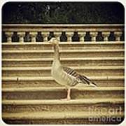Duck In The Stair Art Print