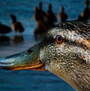 Duck Watching Ducks Art Print
