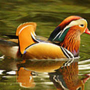 Duck Wild - Mandarin Art Print by DerekTXFactor Creative