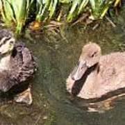 Duckies In The Pond Art Print