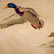 Ducks In Flight Art Print
