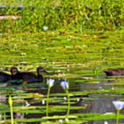 Ducks In Lily Pond Art Print