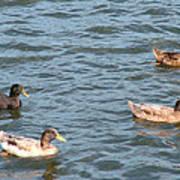 Ducks On Spaulding Pond Art Print