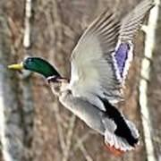 Ducks Take Off II Art Print