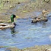 Ducks Unlimited Art Print