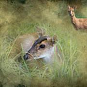 Duiker Endangered Antelope Art Print