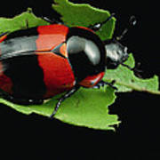 Dung Beetle Panama Art Print