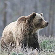 Dunraven Grizzly Art Print