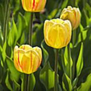 Dutch Yellow Tulip Flowers On Windmill Island In Holland Michigan Art Print