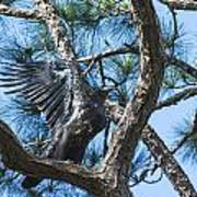 Eagle Flight Prep Art Print