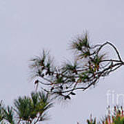 Eagle In The Pines Art Print
