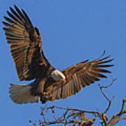 Eagle Landing Art Print