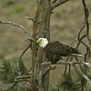 Eagle On A Tree Branch Art Print