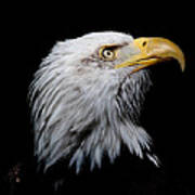 Eagle Portrait II Art Print