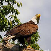 Eagle Portrait IIi Art Print