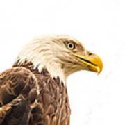Eagle With Prey Spied Art Print by Douglas Barnett