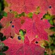 Early Fall Of Norway Maple Art Print
