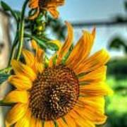 Early Morning Sunflower Art Print