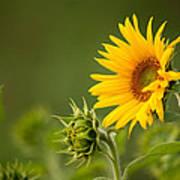 Early Morning Sunflowers Art Print