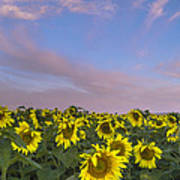 Early Morning Sunflowers Art Print by Thomas Pettengill