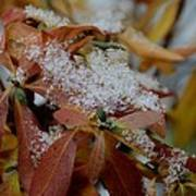 Early Snow On Rhododendron Art Print