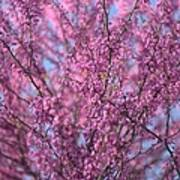 Early Spring Flowering Redbud Tree Art Print