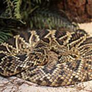 Easter Diamond Back Rattlesnake Art Print