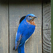 Eastern Bluebird At Nest Art Print
