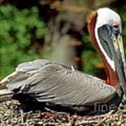 Eastern Brown Pelican Art Print
