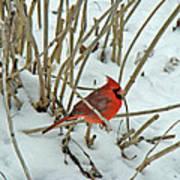 Eastern Cardinal - Cardinalis Cardinalis Art Print