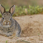 Eastern Cottontail Wyoming Art Print
