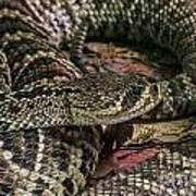 Eastern Diamondback Rattlesnake 1 Art Print